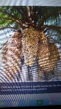Palmeira Macaúba