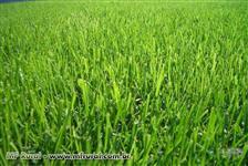 Semente de Grama Bermuda Grass - Safra 2017/2018 - Direto do Produtor - Semente Nua e Peletizada