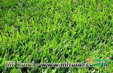 Semente de Grama Bermuda Grass - Safra 2018 - Direto do Produtor - Semente Nua e Peletizada