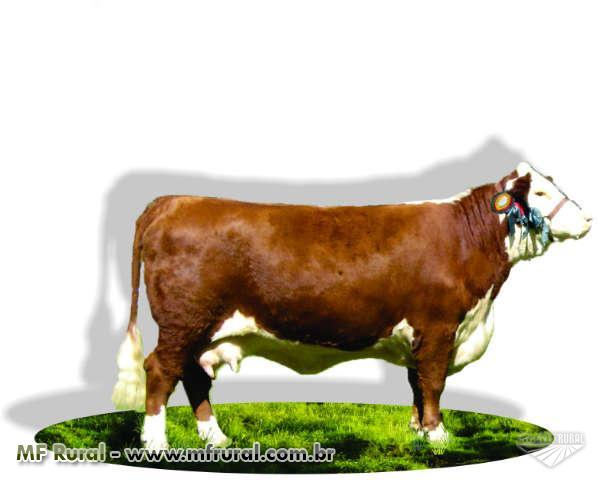 Cabanha  - Venda permanente de reprodutores e semen de Hereford