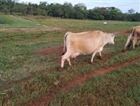 Vacas jersey puras sem registro
