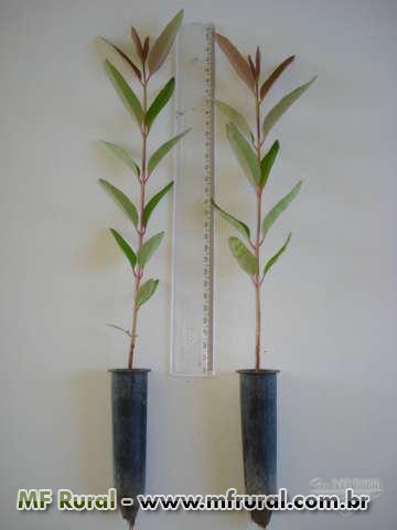 Eucalipto Arco-íris - Eucalyptus deglupta