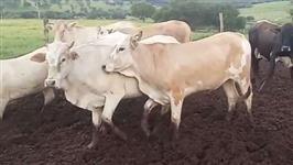 As 30 novilhas são oriundas de cruzamento entre vacas Nelore e touros Angus ou Simental