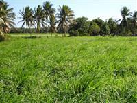 Tanzânia - Panicum maximum cv. Tanzânia - I - MATSUDA