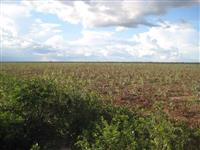 Reflorestamento de Eucalipto Citriodora