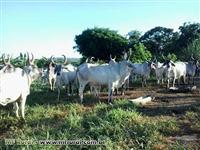 Vacas Guzerá PO