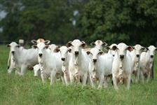 Fazemos a engorda do seu gado de qualquer raça