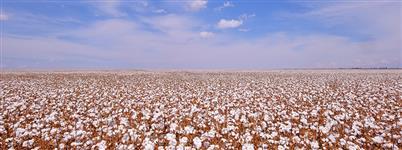 Caroço de algodão