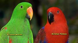 vendo um casal de Eclectus