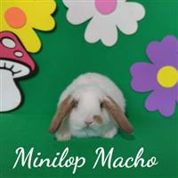 Mini Coelhos - MiniLop.