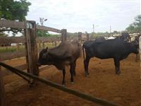 vacas e touro jersey