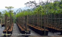 Mudas de Arvores Nativas direto do produtor