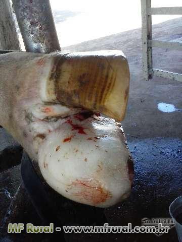 Casqueamento em vacas leiteiras