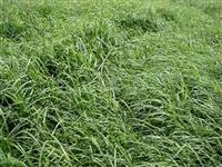 CAPIM VAQUERO  -   CD90160 + Bermuda Grass (Cynodon dactylon)