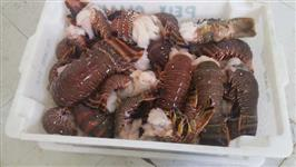 Vendemos lagosta fresca ou congelada