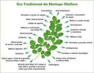 MUDAS DE MORINGA