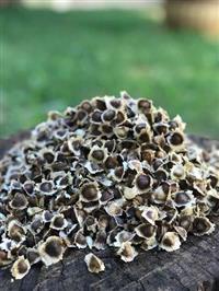 Sementes de Moringa Oleífera - Alta Germinação