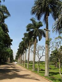 Sementes de Palmeira Imperial (Roystonea oleraceae) Matriz bela e frondosa!