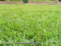 Sementes de Grama Pensacola Incrustadas - Pastejo, contenção de encostas e ornamental