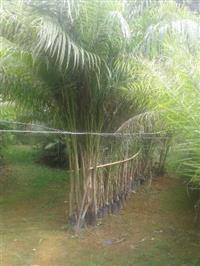 Palmeira imperial 3 metros