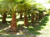 PALMEIRA WASHINGTONIA
