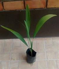 MUDAS DE PALMEIRA TRITHRINAX BRASILIENSIS (Alt. média 50 cm)