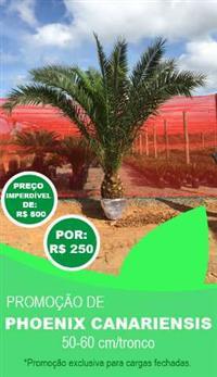GRANDE PROMOÇÃO DE PALMEIRA PHOENIX CANARIENSIS 50-60cm/TRONCO - OPORTUNIDADE ÚNICA DE INVESTIMENTO