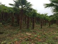 Traquicarpus 1,50 a 1,70 de tronco