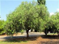 Árvore Aroeira Salsa - Schinus molle - 2 metros