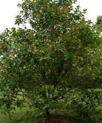 Dedaleiro - Lafoensia pacari - 2 metros