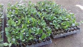 Semente de Mogno Africano - Khaya senegalensis - Pré-germinada