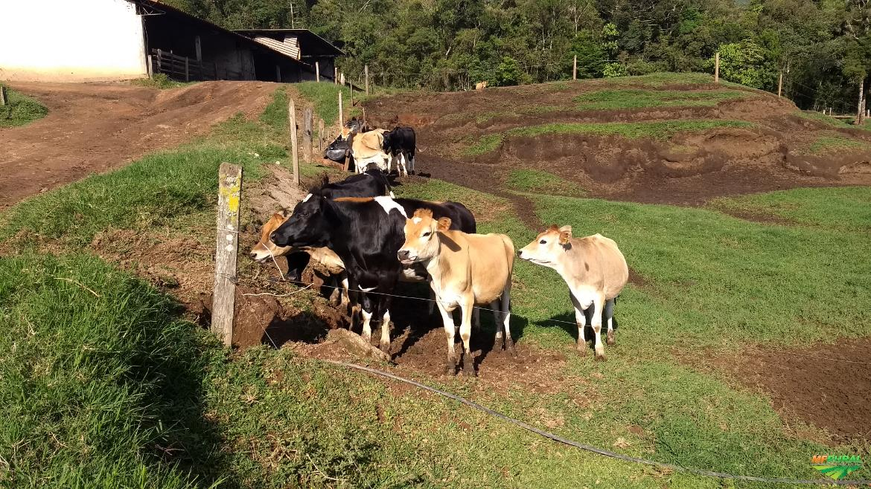 Venda de Vacas Jersolando