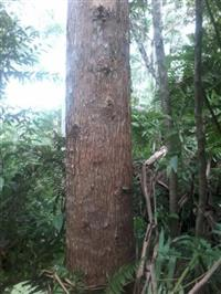 Compro toras de eucaliptos ou pinus