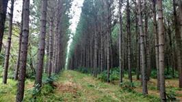 Toras de Eucalipto, Pinus e Acácia para exportação