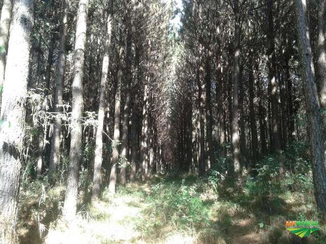 Reflorestamento de Pinus Taeda - Madeira em Pé
