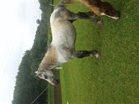 Cavalos Percheron