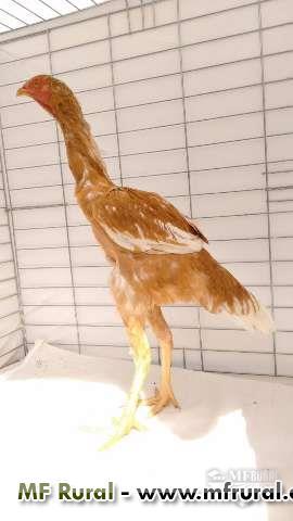 O nelore da avicultura - aves de elite.