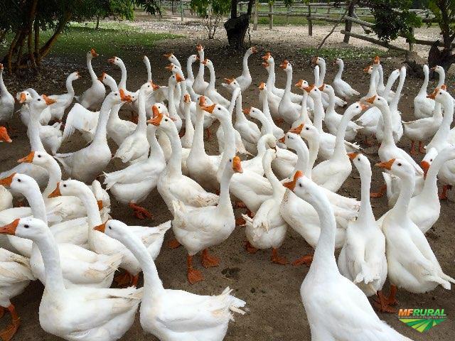 Gansos Toulouse ,Sinaleiro chinês branco,marrecos e outros