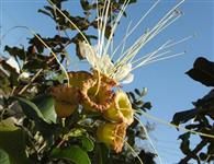 Arvore ornamental pequeno porte paisagismo