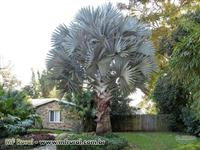 sementes Palmeira Azul Bismarckia Nobilis Gigante