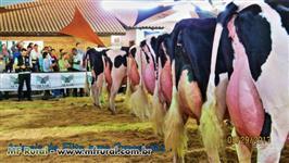 Novilhas e Vacas Holandesas