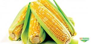 Milho verde irrigado