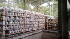 Chacara com cultivo de cogumelo shiitake