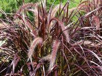 Capim do Texas (pennisetum setaceum rubrum) - DIRETO PRODUTOR