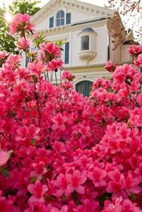 Muda de Azalea (Rhododendron) - DIRETO DO PRODUTOR