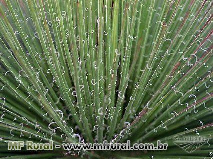 Agave Palito  (Agave Geminiflora) - DIRETO PRODUTOR
