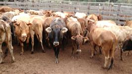 Vacas 1/2 Sangue