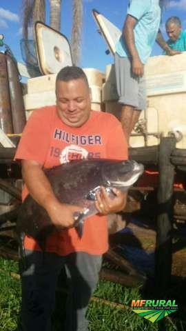 Compro tilapia e outros peixes