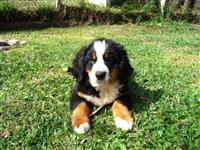 bernese filhotes machos com pedigree